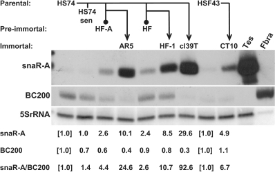 snaR-A induction by cell transformation and immortalization. Derivation of pre-immortal and immortal SV40-transformed cell lines from HS74 and HSF43 normal diploid fibroblasts is shown schematically, as described in the text and Methods. Senescent HS74 cultures (HS74 sen) are also represented. Northern blots of total RNA were probed for snaR-A (top), BC200 (middle) and 5S rRNA (bottom). Human testis (Tes) and fetal brain RNA (Fbra) were included as controls. Intensities of snaR-A and BC200 bands were determined relative to parental cells by phosphorimager quantification and the ratio of snaR-A to BC200 was calculated.