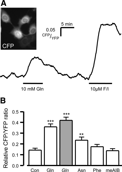 Glutamine-evoked cAMPi responses in GLUTag cells. GLUTag cells were transfected with the cAMP probe, Epac2 camps. FRET was measured as the YFP/CFP ratio by exciting the cells at 435/10 nm (A inset shows example image) A, Representative trace showing the CFP/YFP fluorescence ratio (reflecting [cAMP]i) recorded from an individual cell after addition of 10 mm glutamine and the positive control 10 μm forskolin and 10 μm IBMX (F/I). B, Mean cAMP changes in response to a vehicle control (con) and a range of L amino acids (10 mm of each), as indicated (open bars). Gln (10 mmol/liter) was also tested in the absence of extracellular Na+ (Gln, gray bars). CFP/YFP ratios in the presence of the test agent were expressed relative to the positive control performed in each experiment, as shown in A. Data represent the mean and sem. **, P < 0.01; ***, P < 0.001 compared with vehicle by Student's t test.