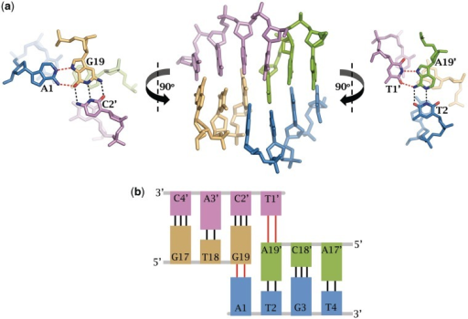 Triple helical DNA interactions between symmetry related 19-mer complexes. (a) The triple helical interactions occur between A1 and G19 of chain C (blue and beige, respectively) and T′1 and A′19 of chain D (pink and green, respectively). (b) A cartoon representation depicting how the Watson–crick edge of the overhanging 5′ base (either T′1 or A1) forms hydrogen bonds with the Hoogstein edge of the terminal base of a symmetry related molecule (A′19 or G19, respectively).