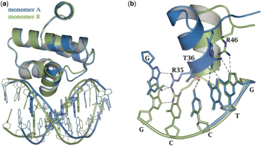 Comparison between the two half sites in the 19-mer OL complex structure. (a) Monomers A and B (blue and green, respectively) were superimposed with RMSD = 0.34 Å (222 main chain atoms). The DNA bases are offset by approximately half a base pair. Bases involved in direct readout are shown as thick lines. The half base pair shift is compensated for through the flexibility of the loop region, permitting recognition of the GTC bases. (b) Residues 13–15 of chain C (blue) were superimposed upon residues 14–16 of chain D (green) (RMSD = 0.54 Å over 61 backbone atoms). Hydrogen bonds are represented by dashed lines.