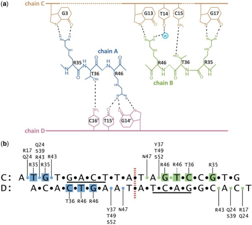 Schematic representation of nucleoprotein interactions. (a) Residues Arg35, Thr36 and Arg46 are involved in direct readout of the DNA sequence. (b) Overview of protein–DNA interactions. Phosphate groups are represented as circles, and those interacting with the protein are coloured according to the subunit contacted. Interactions between chain A and the DNA are highlighted in blue and interactions between chain B and DNA are highlighted in green (for further details, see Supplementary Figures S7 and S8).