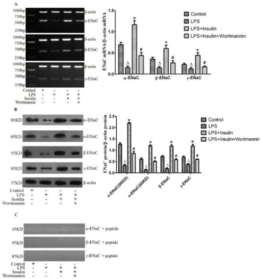 Expressions of alveolar epithelial sodium channel(α-ENaC, β-ENaC and γ-ENaC) in rat lung were measured by RT-PCR(A) and western blotting(B) 8 hours after LPS-induced actue lung injury or saline treatment (n = 5 per group). Proteins using the same antibodies against α-ENaC, β-ENaC and γ-ENaC plus blocking peptides specific for these antibodies were re-blotted(C). Data are presented as mean ± S.E.M.ΔP < 0.05 vs Control group;*P < 0.05 vs LPS group;# P < 0.05 vs LPS + Insulin group.