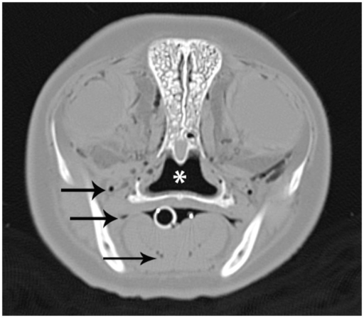 A CT image of the head at the level of the eyes from a bycatch gray seal (Halichoerus grypus). The image was acquired using a bone reconstruction algorithm and displayed on a wide window that results in only gas being displayed as dark gray or black. Normal gas accumulations in the nasopharynx (*) and oral cavity (white circle) are observed. Abnormal gas accumulations within tissues and vasculature, some demonstrated by black arrows, are also present.