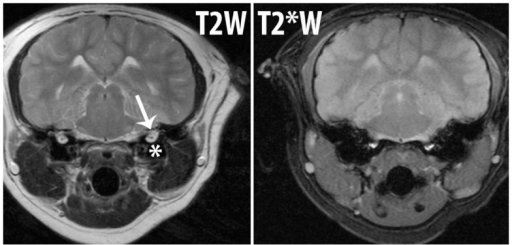 "Magnetic resonance imaging images from a California sea lion (Zalophus californianus) to demonstrate the appearance of gas and the associated susceptibility artifact. Both images are at the same level on the same patient. T2W is a regular MRI sequence and T2*W is sensitive to susceptibility artifact. The air within the bulla (*) on the T2W image can be seen and the inner ear structures (arrow) are also present. The same image is shown after T2*W acquisition and the amount of gas within and overall size of the bulla looks larger and the ""blooming"" effect of the susceptibility artifact due to an air-tissue interface results in loss of conspicuity of the inner ear structures. If abnormal gas were present in the inner ear, it would not be identifiable from this image."