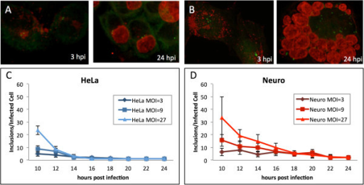 Inclusion fusion is delayed in cells with multiple unclustered centrosomes. HeLa cells (A) and neuroblastomas (B) were infected with C. trachomatis at MOI ~ 27 and fixed at 3 and 24 hpi. Cells were stained with anti-g-tubulin antibodies (green) and human sera (red). HeLa cells (C) and neuroblastomas (D) were infected with C. trachomatis at MOI ~ 3, 9 and 27 and fixed at 10, 12, 14, 16, 20, 22 and 24 hpi. Cells were stained with human sera and inclusions were enumerated.