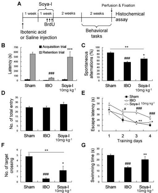 Effects of soya-Ι on behavioral tests 4 weeks after soya-I administration in memory-deficient rats.A. A time line of experimental procedures B. Behavioral effect of soya-I on memory-deficient model rats 4 weeks after oral administration. Rats were orally administered soya-Ι (10 mg·kg-1, p.o.) or vehicle (same volume, p.o.) once per day for 7 days, and passive avoidance tests (B) and Y-maze tests (C) were carried out 3 weeks later. The sham group was injected with saline instead of IBO. B. Latency times in passive avoidance test and C. spontaneous alterations in the Y-maze test during 8-min sessions were measured as described in Materials and Methods. Rats were orally administered soya-Ι (10 mg·kg-1, p.o.) or vehicle (same volume, p.o.) once per day for 7 days, and the Morris water maze task was carried out 3 weeks later. The sham group was injected with saline instead of IBO. D. Total entries were not significantly different. E. The mean escape latency to find the hidden platform during 4 consecutive days of training trials, F. the number of virtual platform crossings and G. swimming time in the target quadrant in 60-s probe trials with no platform were measured as described in Materials and Methods. Closed square = Sham group, opened triangle = IBO group, open circle = soya-I treated group. Data represent means ± SEM (#p < 0.05, ##p < 0.01, ###p < 0.001, compared with the sham group, *p < 0.05, **p < 0.01, ***p < 0.001, compared with the IBO group by the Newman-Keuls Multiple Comparison Test).