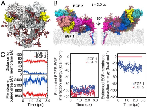 Simulation of fully glycosylated EGFR.(A) A fully glycosylated ectodomain dimer of EGFR. The BiS1F1, Man8, and Man6 glycans attached to EGFR are colored by atom type (gray for carbon, red for oxygen, and blue for nitrogen). (B) The conformation at the end of the simulation shown from two opposite directions. (C) Distance between the N terminus of each ligand (blue, membrane-facing ligand; red, solvent-facing ligand) and the membrane surface (see Methods) in the glycosylated-EGFR simulation, and total surface area of the ligand buried due to its interactions with the receptor and the membrane (left panels). Also shown are the results of the MM/GBVI calculations of the free energy of each ligand's interaction with its host receptor in the glycosylated two-ligand EGFR dimer (middle panel) and the results of similar calculations for each ligand's interaction with the membrane bilayer (the right panel). The membrane-facing ligand enjoys greater binding free energy, and thus higher binding affinity, than the solvent-facing one due to the additional energy conferred by the membrane interaction.