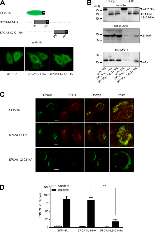 The interaction of CFL-1 and actin with SPCA1-L2-C1 is crucial for protein sorting at the TGN. (A, top) Schematic representation of GFP-HA (aa 1–239), SPCA1-L1-HA (aa 124–252), and SPCA1-L2-C1-HA (aa 549–680) fusion constructs cloned into the retroviral expression vector pLPCX. (A, bottom) HeLa cells stably transfected with GFP-HA, SPCA1-L1-HA, or SPCA1-L2-C1-HA were visualized with an HA antibody and analyzed by confocal microscopy. (B) HeLa cells stably transfected with GFP-HA, SPCA1-L1-HA, or SPCA1-L2-C1-HA were lysed, and lysates were incubated with µMACS anti-HA magnetic microbeads. GFP-HA–, SPCA1-L1-HA–, and SPCA1-L2-C1-HA–associated proteins were eluted, separated by SDS-PAGE, and analyzed by Western blotting using HA, CFL-1, or β-actin antibodies, respectively. (C) HeLa cells stably expressing GFP-HA, SPCA1-L1-HA, and SPCA1-L2-C1-HA were incubated for 2 h at 20°C and subsequently permeablized with digitonin, washed, and then fixed with formaldehyde before incubation with anti-SPCA1 (green) or anti–CFL-1 (red) antibodies. (D) TGN localization of CFL-1 under different conditions in Triton X-100–permeabilized (images in Fig. S2) versus digitonin-permeabilized cells was determined by counting 100 cells per condition in three independent experiments. Bars, 5 µm.