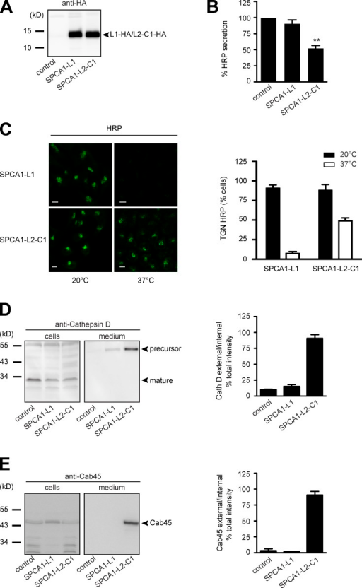 The interaction of CFL-1 and actin to SPCA1-L2-C1 is crucial for protein sorting at the TGN. (A) HeLa cells expressing ss-HRP were transduced with a pLPCX plasmid (control), SPCA1-L1-HA, or SPCA1-L2-C1-HA. Cells were subsequently lysed and proteins were separated by SDS-PAGE. The presence of SPCA1-L1-HA and SPCA1-L2-C1-HA was determined by Western blotting with an anti-HA antibody. (B) Cell culture supernatants of cells described in A were analyzed for HRP activity by chemiluminescence. Error bars show mean ± SD of external HRP activity normalized to internal HRP activity of three independent experiments. Datasets were statistically significant when P < 0.01 (**). (C) HeLa cells stably expressing SPCA1-L1-HA or SPCA1-L2-C1-HA were incubated at 20°C for 2 h in the presence of cycloheximide to accumulate HRP in the TGN. Cells were subsequently shifted to 37°C, and the localization of HRP was analyzed by fluorescence microscopy with an anti-HRP antibody. To quantify the results, 100 cells expressing SPCA1-L1-HA or SPCA-L2-C1-HA in three different experiments at 20°C and 37°C were counted. Bars, 5 µm. (D and E) Media and lysates from the same cells were Western blotted with specific antibodies against Cathepsin D (D) or Cab45 (E). Western blots from three independent experiments were quantified by densitometry using the ImageJ software. Bar graphs represent the densitometry values of external Cathepsin D (D) and Cab45 (E) normalized to internal Cathepsin D and Cab45 values, respectively.