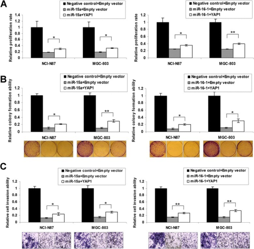 YAP1 re-expression partly abrogated the inhibitory effect of miR-15a and miR-16-1 in NCI-N87 and MGC-803. (A) YAP1 re-expression increased cell proliferation compared with miR-15a or miR-16-1 alone (*, P < 0.05; **, P < 0.001). The SDs were achieved by the 575 nm absorbance readings in 6 wells of each item. (B) Monolayer colony formation assays revealed YAP1 re-expression abolished proliferation-inhibition of miR-15a and miR-16-1 partially (*, P < 0.05; **, P < 0.001). The representative colony formation pictures were shown in the bottom. The experiments was performed in triplicate wells to get SDs. (C) The suppressed cell invasion abilities was partially alleviated by YAP1 re-expression in NCI-N87 and MGC-803 cells (*, P < 0.05; **, P < 0.001). The cells were counted in 3 random vision fields of each item to get SDs.