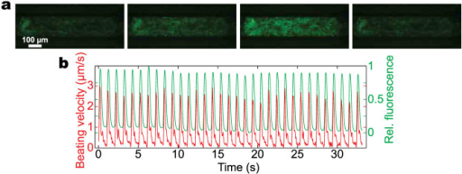 Cardiac tissue derived from a genetically engineered hiPS cell line expressing a GCaMP6 reporter in the MPS.(a) Frames from a fluorescence movie (GFP channel) showing the switching from dim to bright during activity of Ca2+ channels. (b) Time-course of the normalized fluorescence intensity (green) and the beating motion (red) obtained by computational analysis of the movie. This combination allows high throughput analysis of mechanical and electrophysiological properties.