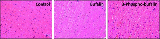 H-E staining of bufalin or 3-phospho-bufalin treated mouse heart.H&E staining of heart tissues 24 h after drug administration. Neither of bufalin or 3-phospho-bufalin caused severe damage to the heart muscle, indicating that the acute toxicity of bufalin is reversible.