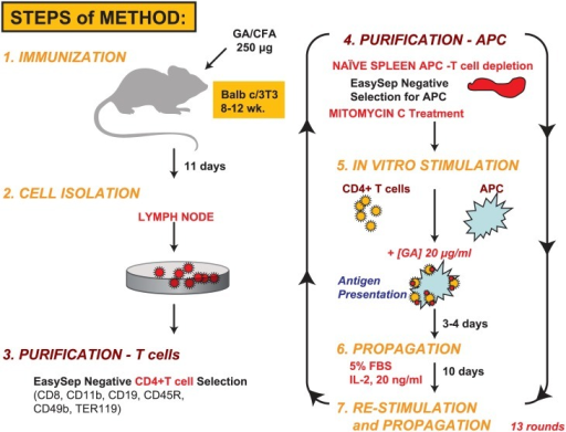 Methodology for the generation of murine GA-responsive Th2-polarized T cells.In vivo immunization of naive mice with Copaxone was followed by 13 rounds of ex vivo restimulation of the CD4+ T-cell population over 6 months for development of the Th2-455 line. APCs, antigen-presenting cells; GA, glatiramer acetate; IL-2, interleukin 2; Th, T-helper.