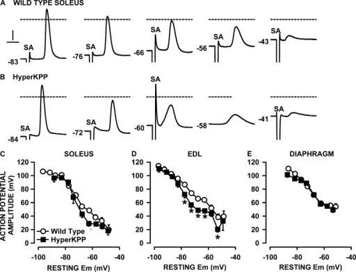 Action potential amplitudes were lower in HyperKPP than in wild type, soleus, and EDL but not diaphragm. Examples of action potential traces from (A) wild-type and (B) HyperKPP EDL. Numbers at the start of each trace represent the starting resting EM. SA is for the 0.3-msec-long stimulus artifact. Dashed horizontal lines represent 0 mV. Vertical and horizontal bars represent 20 mV and 1 msec, respectively. (C–E) Resting EM and action potentials were measured from fibers located at the muscle surface. Each muscle was tested at 2 or 3 [K+]e. Data from all fibers were pooled together and separated according to their resting EM in a bin of 5 mV. For each bin, resting EM and action potential amplitudes were averaged. Vertical and horizontal bars represent the SEM of action potential amplitude and resting EM, respectively (not shown if smaller than symbol). The total number of samples varied between 158 and 385 fibers from 5 to 11 muscles. *, mean action potential amplitude from HyperKPP fibers was significantly different from that of wild type; ANOVA and LSD; P < 0.05.