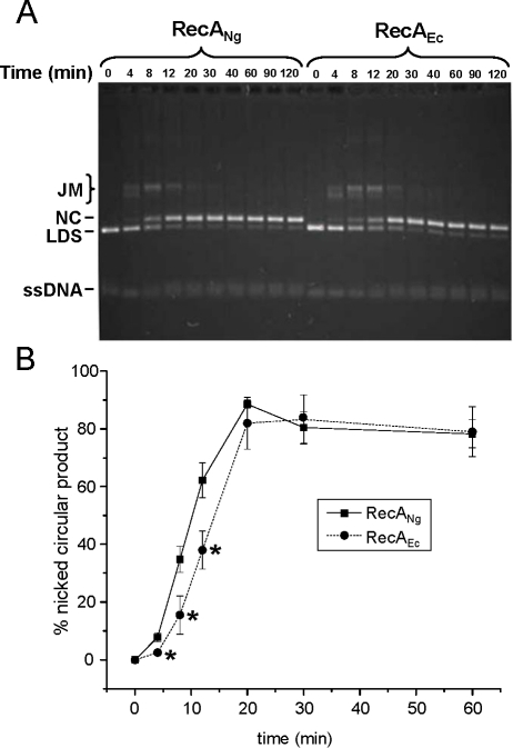 DNA strand exchange activity of RecANg and RecAEc proteins.Reactions were carried out as described in the Materials and Methods and Results sections using cognate SSB proteins and the described substrates. Aliquots of the strand exchange reactions were removed and stopped at each indicated time point. The substrate linear dsDNA, joint molecule reaction intermediates, and nicked circular products are denoted LDS, JM, and NC, respectively. All ssDNAs (circular or linear), migrate identically under these gel conditions. A. RecANg promotes faster strand exchange than RecAEc using homologous substrates. Representative gel of strand exchange reactions performed using homologous pGEM cssDNA and linear dsDNA and the cognate SSB proteins. B. Nicked circular product formation plotted versus time. Error bars represent the standard error of the mean of 4 separate experiments. *P<0.05 by Student's two-tailed t-test. (Note that not all time points shown in Figure 2A are represented on this graph.)