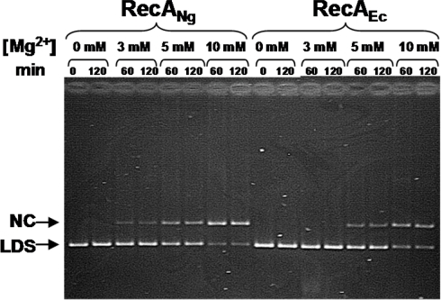 Strand exchange activity of RecANg and RecAEc at varying levels of Mg2+.Reactions were carried out as described in Materials and Methods using completely homologous ΦX174 DNA with the indicated levels of Mg2+ present in the reactions. A representative gel shows aliquots of the strand exchange reactions that were removed and stopped at the times indicated. Nicked circular product (NC) and linear dsDNA (LDS) are noted.