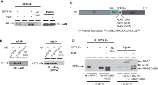 AR and SET9 interact in vitro and in vivo. (A) LNCaP cells grown in steroid-depleted media and treated with and without 10 nM DHT for 6 h were subject to IP using an anti-SET9 antibody followed by western analysis using an anti-AR antibody. (B) HEK293T cells were transiently transfected with pFlag-AR and either pFlag-SET9 or pFlag-SET9H297A for 48 h prior to IP using an anti-AR antibody followed by immunoblotting with anti-AR and -Flag antibodies. (C) Diagrammatic representation of the domains of the androgen receptor showing target lysine sequences of SET9 and sequence of AR peptide used in 3H methylation assays. (D) In vitro IP between His-tagged SET9 and N- and C-terminal fragments of the AR using anti-SET9 antibody followed by western analysis using an anti-His antibody.