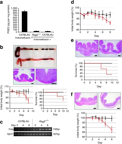 PGE2-mediated immunosuppression is indispensable for Rag2−/− but not for WT mice to avoid intestinal inflammation.(a) Mice (WT (C57BL/6J) and Rag2−/−) were fed with or without 40 μg ml−1 of indomethacin in drinking water for 3 days. The levels of PGE2 were determined by ELISA. (b) WT (C57BL/6J) and Rag2−/− mice were continuously administered 40 μg ml−1 of indomethacin in drinking water. Upper panels: Representative macroscopic and microscopic observations of the large intestines of the indomethacin-administered WT (upper intestine in macroscopic image and lower left section in microscopic image) and Rag2−/− mice (lower intestine in macroscopic image and lower right section in microscopic image). Scale bar, 200 μm. Lower panels: The body weights (lower left) and survival rates (lower right) of WT (black line) and Rag2−/− mice (red line) are shown; n=4 for each group. Error bars represent ±s.d. (c) RNAs were extracted from the proximal colons of the indomethacin-administered WT (C57BL/6J) and Rag2−/− mice on days 0, 4 and 6 (n=2 for each day), and the indicated gene expression was analysed by RT-PCR. (d) The body weights of Rag2−/− mice administered with indomethacin alone (red line) and indomethacin plus PTGER4 agonist (black line); n=3 for each group. Error bars represent ±s.d. (e) Microscopic observations of the caecum and survival rates of indomethacin-administered Rag2−/− mice treated with antibiotics (upper right image and black line in lower panel) or without antibiotics (upper left image and red line in lower panel). Scale bar, 200 μm; n=3 for each group. (f) CD4+CD25high cells (Tregs, 2×105 cells) were transferred to 4-week-old Rag2−/− mice. At 4 weeks after the transfer, mice were fed with indomethacin for 8 days. Microscopic observations of proximal colons and body weights of indomethacin-administered Rag2−/− mice transferred with Tregs (upper right image and black line in lower panel) or without Tregs (upper left image and red line in lower panel) are shown; n=3 for each group. Scale bar, 200 μm. Error bars represent ±s.d.