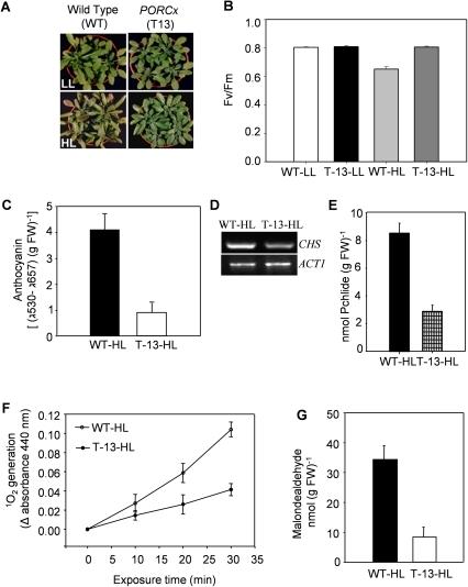 Morphological and physiological responses of WT and PORCx plants to light stress.Both WT and PORCx (T-13) plants were grown in light (100 µmoles photons m−2 s−1) for 22–24 days and subsequently transferred to low-light (LL) (50 µmoles photons m−2 s−1, 16 h light/8 h dark) or high-light (HL) (330 µmoles photons m−2 s−1, 16 h light/8 h dark) regimes for 6-7 d as described in experimental procedures. (A) Photographs of WT and T-13 plants after 6–7 d of transfer to LL and HL. (B) Photosynthetic efficiency (Fv/Fm) of leaves of LL- and HL- exposed plants was monitored by PAM 2100 fluorometer. Values are mean ± SD (n = 20). (C) Anthocyanin contents of WT and T-13 plants grown under HL. (D) The gene expression study of CHS in HL-grown WT and T-13 plants was done by RT-PCR as described in experimental procedures. AtACT1 was used as an internal control. (E) Pchlide contents of HL-treated WT and T-13 plants measured 10 min after the end of dark period. (F) Singlet oxygen (1O2) contents in WT and T-13 plants. Thylakoid membranes were isolated in complete darkness from HL- exposed plants and the 1O2 production was determined in terms of RNO bleaching using histidine as a trap. (G) Malondealdehyde (MDA) production in HL- treated WT and T-13 plants. Each data point represented in all the above experiments is the average of 6 replicates. The error bar represents SD.