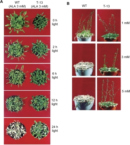 PORCx plants are tolerant to ALA-inducd oxidative damage.WT and PORCx (T-13) plants were treated with ALA and exposed to light for different time periods. (A) Photographs of T-13 plants under ALA-induced oxidative damage. Notice the death of the WT plants after 24 h of light exposure, whereas T-13 plants are slightly damaged. (B) Survival of light-exposed T-13 plants treated with different concentration of ALA. Both WT and T-13 plants grown under the same condition as described above were treated with different concentration of ALA (from 1 mM to 5 mM) and their dose dependent tolerance was observed. Notice the WT plants were killed by 3 mM or 5 mM ALA-treatment.