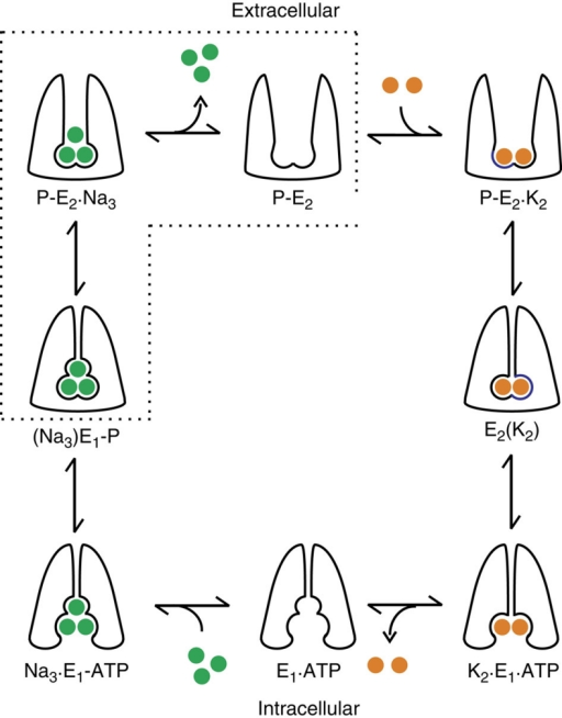 Post-Albers diagram of the Na+/K+ transport cycle.In this simplified scheme, E1 conformations represent those in which binding sites may be accessed from the intracellular side. In these states, two K+ (orange balls) are released, three Na+ (green balls) are bound and occluded, and the protein is phosphorylated. In P-E2 conformations, the binding sites become accessible from the external environment, and the three Na+ are released, two K+ are bound and occluded, and the protein autodephosphorylates. The states enclosed by the dotted box were isolated by removal of K+ from all solutions and by the presence of 5 mM MgATP (and of ADP scavengers)814 in the internal solution.