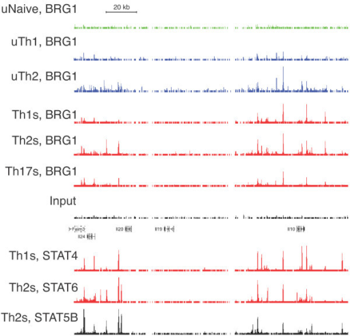 BRG1 Binding at the IL-10/IL-24 Locus in multiple T helper subtypes. ChIP-seq profiles from T helper cells for BRG1, STAT6, STAT4 and STAT5B are shown. BRG1 data are from [47], Stat6 data are from [57] and Stat5 data are from [58]. Resting naïve cells (uNaive), resting Th1, (uTh1), resting Th2 (uTh2), re-stimulated Th1 (Th1s), re-stimulated Th2 (Th2s), re-stimulated Th17 (Th17s) cells are shown. Input is shown as a control. Occupancy range values (y axis) are identical for all graphs to allow direct comparison (minimum tag frequency of 0, maximum tag frequency of 1.14 × 10-5). A scale bar for the × axis (genomic location) is shown. Exons are indicated as vertical bars, gene names are to the left, and arrowheads indicate the direction of transcription. The genomic coordinates represented (MM9 assembly) are chromosome 1, 132,770,000 to 132,950,000.