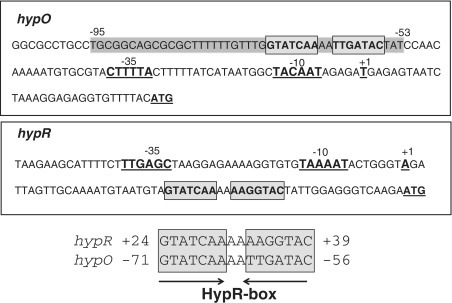 Sequence alignment of the HypR-boxes in the hypO and hypR promoter regions. The hypO and hypR promoter sequences (−10 and −35), the transcription start site (+1) and the ATG start codons are underlined in the hypO and hypR upstream regions. The conserved HypR-boxes including the inverted repeats are boxed and indicated by arrows. The HypR protected region identified by the DNase-I footprinting analysis is grey shaded.