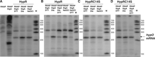 In vitro transcription analysis of hypO in the presence of RNA polymerase holoenzyme (RNAP) and purified HypR (A and B) and HypRC14S proteins (C and D) treated with DTT, diamide or NaOCl. The reactions in (A) and (C) show increased hypO transcription ratios by oxidized HypR but not by oxidized HypRC14S mutant protein. The reactions in (B) and (D) show reduced hypO transcription ratios by oxidized HypR that is subsequently reduced with DTT, but no change in hypO transcription by oxidized HypRC14S that is subsequently reduced with DTT. The in vitro-transcription analyses of hypO are representives of three replicate experiments and the relative transcription ratios were quantified in Supplementary Figure S4C. RNA size standard was generated using the Perfect RNA marker template mix (Novagen). The hypO specific run-off transcript is labelled at a size of 220 bp.