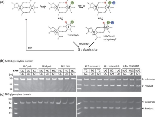 MBD4 and TDG are capable of excising 5-hydroxymethyluracil in the context of a double-stranded CpG dinucleotide. (a) A putative pathway of DNA demethylation involving DNA methylation by DNMTs, hydroxylation by Tet proteins, deamination by AID and glycosylation by MBD4 or TDG linked to base excision repair (BER). Double stranded 32-bp oligonucleotides bearing a single CpG dinucleotide and the indicated modification status (where M = 5mC and H = 5hmC) and labeled with FAM on the top strand were incubated with the glycosylase domain of MBD4 (b) or TDG (c) at 37°C for 1 h. The products of the reaction were separated on a denaturing polyacrylamide gel, and the FAM-labeled strand was excited by UV and photographed.