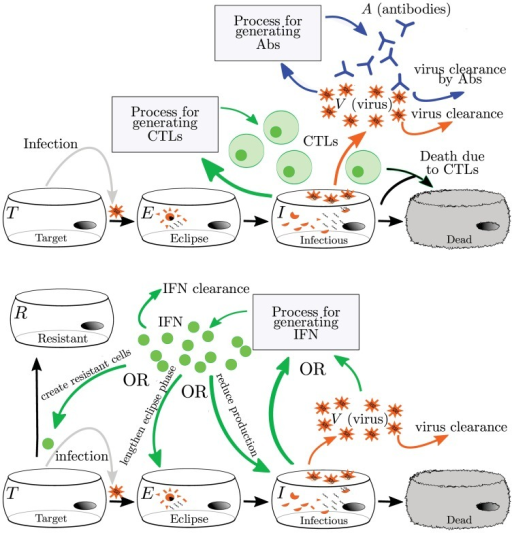 Mathematical models of the adaptive (top) and innate (bottom) immune responses to influenza.The adaptive immune response typically includes Abs and CTLs. The generation of Abs and CTLs are represented with different simplifying assumptions, so the actual processes are not depicted here. All models reviewed here assume that Abs bind to and remove virus while CTLs cause the death of infectious cells. The innate immune response is represented by IFN. Since IFN has many antiviral effects in vivo, models have different implementations of IFN's effect. Details of individual models are discussed in the text and in Supplement S2.