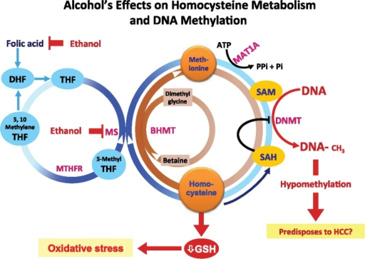 Alcohol's effects on homocysteine/methionine metabolism and DNA methylation. Methionine, which is formed by methylation of homocysteine (using either 5-methyl tetrahydrofolate [5-methyl THF] or betaine as methyl donors), is essential for the production of S-adenosylmethionine (SAM), which in turn is used to methylate DNA. Chronic heavy drinking reduces folate levels and inhibits methionine synthase (MS), resulting in the reduction of methionine and SAM and the concurrent increase in homocysteine and S-adenosylhomocysteine (SAH). SAH further inhibits DNA methyltransferases (DNMTs), ultimately resulting in global hypomethylation of DNA.NOTES: MTHFR = methylene tetrahydrofolate reductase; MAT = methionine adenosyltransferase; HCC = hepatocellular carcinoma; BHMT = betaine homocysteine methyltransferases; GSH = glutathione; ATP = adenosine triphosphate; Pi = inorganic phosphate.