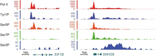 Examples of Tyr1P binding patterns at genic locations.EIF1B and SNHG8 are mainly bound by Tyr1P (3D12) at TSS as for RPL22L1 gene of Figure 2B.DOI:http://dx.doi.org/10.7554/eLife.02105.009