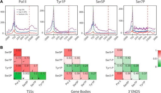 Tyr1P presents a specific pattern of phosphorylation along genes compared to Pol II.(A) Genome-wide profiling of Pol II (N20) and CTD isoforms (as in Figure 2) for different classes of binding levels indicate a distribution of Tyr1P more prominent at promoters vs gene bodies as compared to Pol II and Ser7P, but comparable to that of Ser5P. The indicated signal rank of the values is over an area encompassing TSS, GB, and 3′ ends of genes as indicated in the 'Materials and methods–Gene selection and average binding profiles'. Note that more Tyr1P signal is found at 3′ ends as compared to Ser5P. (B) Spearman correlation plots of significantly enriched areas for Pol II and phospho-isoforms (genes size >2 kb) indicate that Tyr1P relates more to Pol II and early transcription marks at promoters than it does at gene bodies or 3′ends. Mean values for Spearman correlation were computed at [TSS-500 bp;TSS+500 bp], [TSS+1000 bp; 3′end-500 bp], and [3′end-500 bp; 3′end+1000 bp] ('Materials and methods–Correlation of biological replicates and cross-correlation').DOI:http://dx.doi.org/10.7554/eLife.02105.012