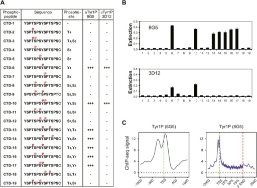 Tyr1P specific antibodies with distinct peptide recognition patterns show similar genome-wide profiling at TSS.(A) CTD peptide recognition patterns of 3D12 and 8G5 Tyr1P Abs used in this study. Note that 8G5 shows a wider range of peptide recognition compared to 3D12. (B) Specificity and reactivity of mAbs were tested in ELISA experiments towards the peptides CTD-1 to -19. (C) Genome-wide profiling of ChIP-seq experiments performed with 8G5 at TSSs (left panel) or at gene body locations on 2365 genes. As for 3D12 Ab, the AS peak is over-represented when compared to Pol II.DOI:http://dx.doi.org/10.7554/eLife.02105.013