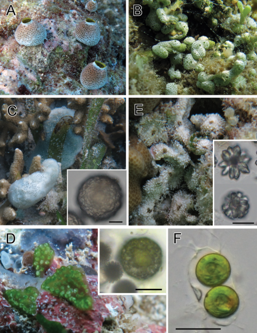 Photosymbiotic ascidians with tunic spicules. Colonies in situ and tunic spicules (inset) of Didemnum molle (A), Trididemnum miniatum (B), Lissoclinum patella (C), Lissoclinum punctatum (D), and Lissoclinum timorense (E). Tunic cells contain Prochloron cells in the tunic of Lissoclinum punctatum (F). Scale bars = 20 µm.
