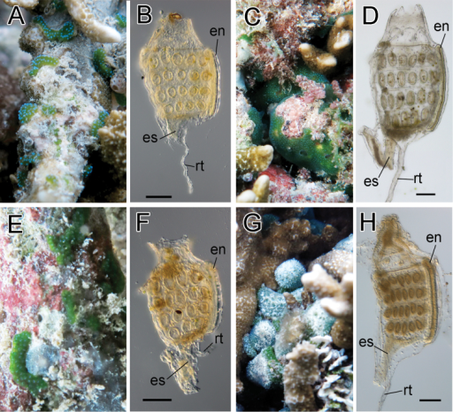 Photosymbiotic ascidians without tunic spicules (Diplosoma species). Colonies in situ and thorax of zooid of Diplosoma gumavirens (A, B), Diplosoma simile (C, D), Diplosoma simileguwa (E, F), and Diplosoma virens (G, H). en endostyle; es esophagus; rt retractor muscle. Scale bars = 0.1 mm.