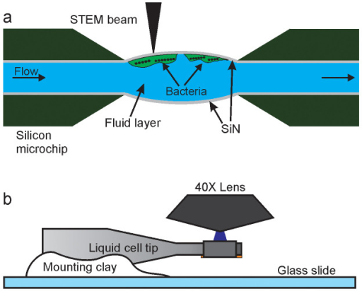 Schematic of in situ fluid cell STEM and correlative fluorescence microscopy (not to scale).(a) Fluid cell microfluidic chamber consisting of two silicon microchips supporting two electron transparent SiN membranes. Cells of M. magneticum are attached to the top SiN window and imaged with STEM in the thin liquid layer. (b) The tip of the liquid cell is mounted on a glass slide and subsequently imaged in a fluorescence microscope with a 40X objective lens.