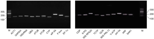 Specificity of primer pairs for RT-qPCR amplification.Agarose gel (2%) electrophoresis showing amplification of a specific PCR product of the expected size for each gene (M:DL1000 DNA Marker).