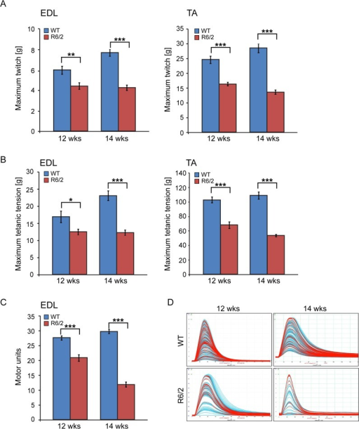 Neuromuscular function in the R6/2 mouse model of HD.(A) A significant decrease in the maximum twitch tension was observed for EDL and TA at 12 and 14 weeks of age. (B) A significant decrease in the maximum tetanic tension was observed for EDL and TA at 12 and 14 weeks of age. (C) The motor unit output for each experimental group is summarised in the bar chart. A significant decrease in functional motor units was observed for EDL at 12 and 14 weeks of age. (D) Examples of the motor unit trace recordings of the WT and R6/2 hind limb EDL muscles at 12 and 14 weeks of age. Error bars are SEM (n = 10). ONE-WAY ANOVA with Bonferroni post-hoc test: *p < 0.05, **p < 0.01; ***p < 0.001).