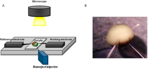 Experimental setup for simultaneous test solution injection and potentiometric measurements, (A) Schematic illustration of the setup and (B) Photography of Xenopus oocyte penetrated by the reference electrode (left), measurement electrode (right), and injector (middle).