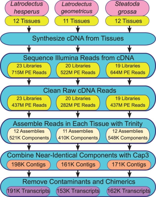 Flowchart detailing assembly of multitissue transcriptomes for three species of cobweb weaving spiders. Using RNA collected from multiple tissues (supplementary table S1, Supplementary Material online), cDNA was synthesized, sequenced, and cleaned of low quality and rRNA reads (yellow buttons). Each tissue-specific library was then subject to de novo assembly with Trinity (beige buttons) and these assemblies were combined to create a draft transcriptome (orange buttons). Probable contaminants and chimerics were removed from the draft to obtain the final transcriptomes (purple buttons).