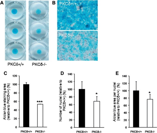Chondrocytes from protein kinase C delta (PKC-δ)−/− mice have defective proliferation and matrix production in vitro compared to chondrocytes from PKC-δ+/+ mice. a Low magnification scanned images of alcian blue-stained PKC-δ+/+ and PKC-δ−/− chondrocyte micromass cultures. b 100× magnified images showing the difference in the area of alcian blue staining in PKC-δ+/+ versus PKC-δ−/− chondrocyte micromass cultures (scale bar 100μm). c Analysis of alcian blue staining area in PKC-δ+/+ and PKC-δ−/− micromass cultures relative to PKC-δ+/+ (n = 5, ***p < 0.001). d Analysis of cell numbers in PKC-δ+/+ and PKCδ−/− micromass cultures relative to PKC-δ+/+ (n = 5, *p < 0.05). e Analysis of alcian blue staining area per cell in PKC-δ+/+ and PKC-δ−/− relative to in PKC-δ+/+ (n = 5, *p < 0.05)