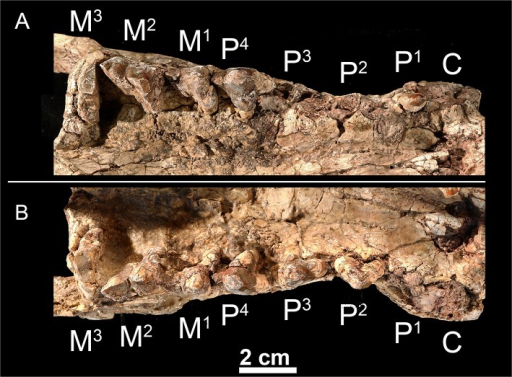 Upper dentition of Kerberos langebadreae gen. & sp. nov. (holotype, MNHN.F.EBA 517).A, right maxilla bearing P1 and P4-M3 in occlusal view. B, left maxilla bearing P2-M3 in occlusal view.