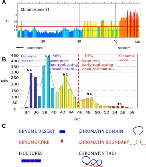 A. Compositional profile of human chromosome 21 (from the hg19 release) as seen through non-overlapping 100-Kb windows, using the IsoSegmenter program [15]. DNA stretches from isochore families L1 to H3 are represented here in different colors, deep blue, light blue, yellow, orange, red, respectively. The ordinate values are the minima GC values (valleys) between isochore families (see S1 Table). The red horizontal line at 41% GC separates the two (GC-poor and GC-rich) genome compartments. B. Isochore families. The histogram displays the isochores from the human genome as pooled in bins of 1% GC (modified from ref. [16]). The Gaussian profile shows the distribution of isochore families, which are represented in different colors as in Fig 1A. Gene densities (and all other structural and functional properties tested; see Table 1) define a genome desert, isochore families L1, L2, H1, and a genome core, isochore families H2, H3 (separated by a vertical broken red line). C. The scheme compares isochores belonging to the genome desert and to the genome core with chromatin domains and chromatin boundaries.