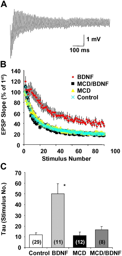 Effect of MCD on BDNF modulation of synaptic fatigue at hippocampal CA1 synapses. Neonatal hippocampal slices were pretreated with MCD (2 mM) for 30 min before treatment with BDNF (2 nM) for 1–2 h. A train of HFS (100 Hz, 1 s) was applied to Shaffer collaterals and field EPSPs were recorded from stratum radiatum. The slopes of EPSPs during the entire recording were normalized to the first EPSP slope in each recording. (A) An example of EPSPs elicited by HFS recorded from a BDNF-treated slice. (B) Effect of MCD on synaptic depression induced by HFS. Normalized EPSP slopes in each condition were averaged and plotted against the number of stimulus during HFS. (C) Summary of the MCD effect on the rate of synaptic depression. The plot for each recording was fitted with a single exponential curve, and rate constant (τ) for each condition was averaged and presented. *Indicates significantly higher than all other groups; ANOVA followed by post hoc tests; P < 0.001. The number associated with each column represents the number of slices used for each condition.