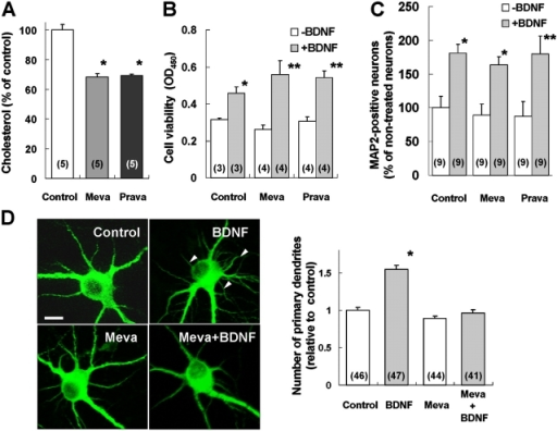 "Effects of raft depletion on BDNF regulation of dendritic growth and cell survival. Cultured cortical neurons were treated with or without 10 μM mevastatin (Meva) or 10 μM pravastatin (Prava) in the absence or presence of 200 ng/ml BDNF. Membrane cholesterol content, cell survival, or the number of primary dendrites was measured 3 d later. (A) Effect of mevastatin or pravastatin on membrane cholesterol levels. The data are expressed as the percentage of control (nontreated cultures). *Indicates significantly lower than control; P < 0.001 (t test). n = 5 cultures in each group. (B) Effect of mevastatin or pravastatin on cell viability. Viability of cortical neurons was measured by the WST-1 colorimetric assay, and expressed as OD450. t test; *P < 0.05, **P < 0.01. (C) Effect of mevastatin or pravastatin on the number of MAP-positive neurons. Data are expressed as the percentage of control (nontreated cultures). *P < 0.01, **P < 0.05. In both B and C, the number associated with each column represents the number of cultures used in a single experiment, and three independent experiments were performed. No difference was found between the ""+BDNF"" groups, nor between the ""−BDNF"" groups (ANOVA test). (D) The effect of mevastatin on BDNF modulation of dendritic growth. (Left) Representative images of MAP2-stained neurons. After 3-d incubation with BDNF and/or Meva, cells were stained with anti-MAP2 antibody. Note that the number of primary dendrites (arrowheads) is increased by BDNF treatment, and that the effect is completely blocked by mevastatin. Bar, 10 μm. (Right) The number of primary dendrites was quantified and normalized to that of the control. *Indicates significantly higher than all other groups; ANOVA followed by post hoc test; P < 0.00002. The number associated with each column indicates the number of neurons measured in a single experiment, and three independent experiments were performed."