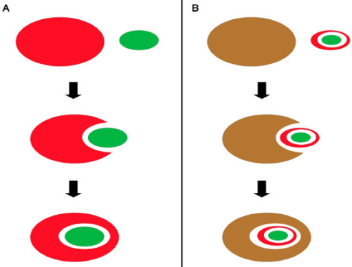 Primary and secondary endosymbiosis. part A: Primary endosymbiosis is proposed to have involved the capture of a cyanobacterium (green elipse) by a eukaryotic heterotroph (red elipse). The cyanobacterium would then have been modified during evolution to give rise to a plastid with two surrounding membranes. part B: The secondary endosymbiotic event that gave rise to the heterokonts is proposed to have involved the engulfment of a red algae with a chloroplast (green elipse inside a red elipse) by a eukaryotic heterotroph (brown elipse). The red alga would have become the heterokont plastid with four surrounding membranes.