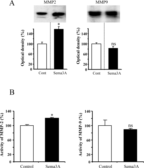 Sema3A-dependent expression and activity of MMP-2.(A) Western Blotting analysis of MMP-2 and MMP-9 expression. The expression of MMP-2 increases in the presence of Sema3A, while no modification occurs for MMP-9. (B) Determination of MMP-2 and MMP-9 enzymatic activity by ELISA assay. MMP-2 activity increases in the presence of Sema3A without modification MMP-9 activity. (* p<0.01 student's t test/control, ns not significant).