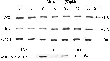RelA nuclear translocation in neurons after glutamate treatment. Nearly pure neocortical neurons were treated with glutamate (50 μM) for the indicated times and cells were harvested for fractionation (Cyto.: cytosolic fraction; Nuc.: nuclear fraction); these were probed by western blot for RelA. Whole-cell lysates were also prepared from either astrocyte or neuron cultures; these were probed by western blot for IκBα (Whole: neuron whole cell lysate). TNFα was applied to the astrocytes at 100 ng/ml for the indicated times (min).