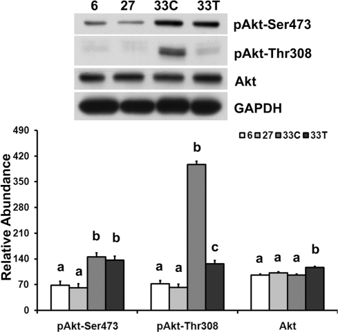 Aging-associated hyper-phosphorylation of Akt can be attenuated by acetaminophen.Akt total protein and the phosphorylation of Akt at Ser473 and Thr308 in soleus muscle from 6-, 27-, 33-month control (33C) and acetaminophen-treated (33T) F344BN rats were determined by immunoblotting. Data are mean±SE (n = 4–6). abc: Groups without the same letter are significantly different (P<0.05).